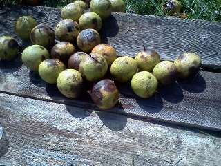 black walnuts for dyeing