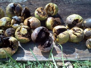 preparing black walnuts for dye bath