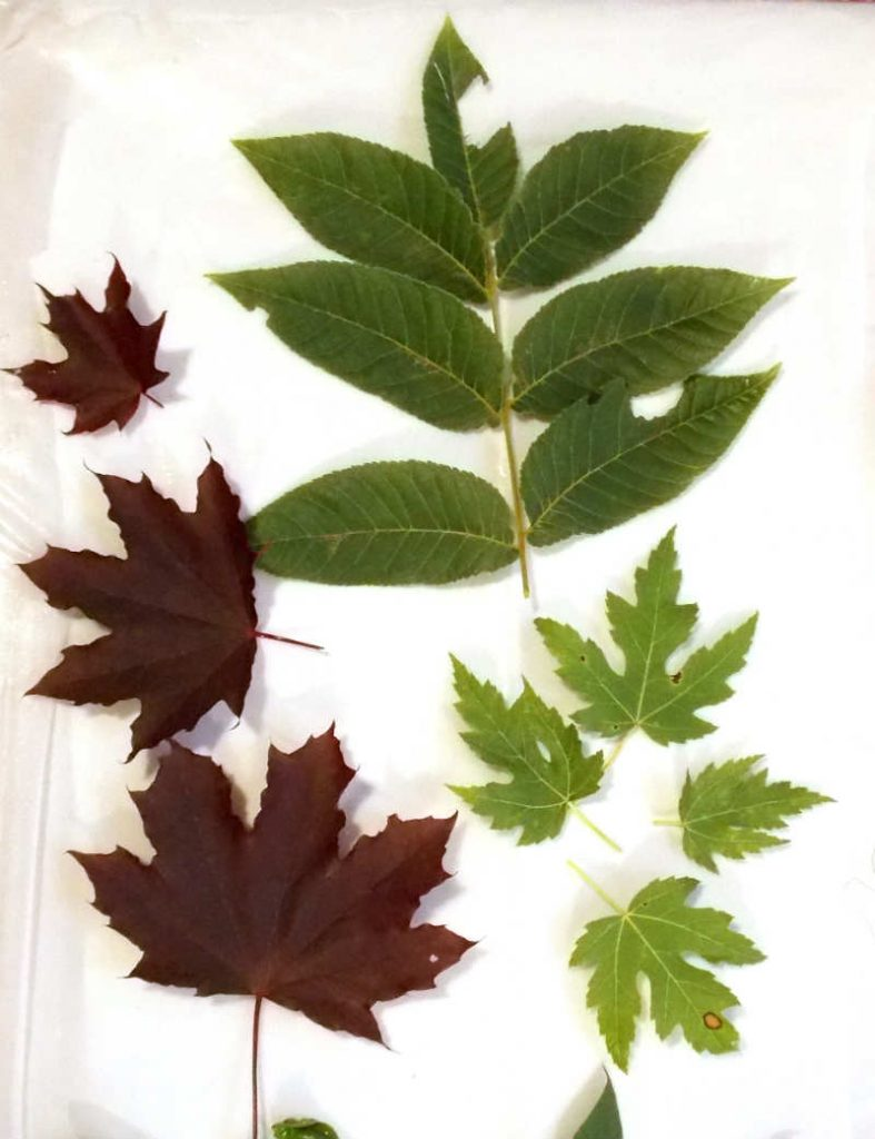 Leaves laid out on fabric for eco dyeing