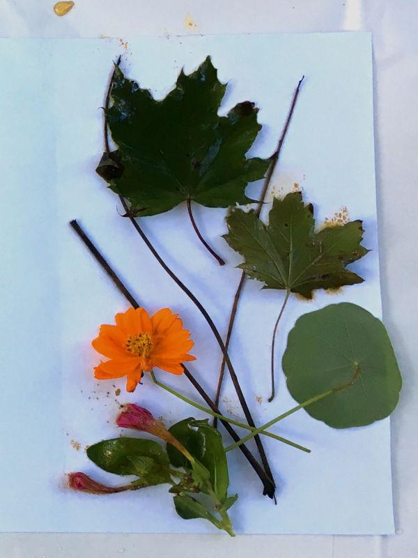Maple leaf, Nasturtium bloom and leaf and Black Walnut stems for eco printing